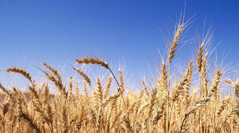 العراق يشتري اكثر من مليون طن من القمح ويتوقع ستة ملايين طن حصاد محلي