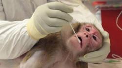 Moderna  vaccine  shows immune response in monkeys