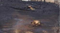 ديالى.. داعش يبيد 40 رأس غنم حرقاً