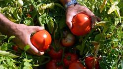بعد احتجاج فلاحين .. اقليم كوردستان يحظر استيراد الطماطم حتى إشعار اخر