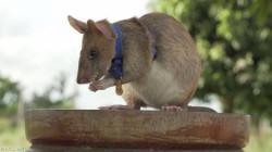 """فأر ينال ميدالية ذهبية.. فما قصة """"ماغوا""""؟"""