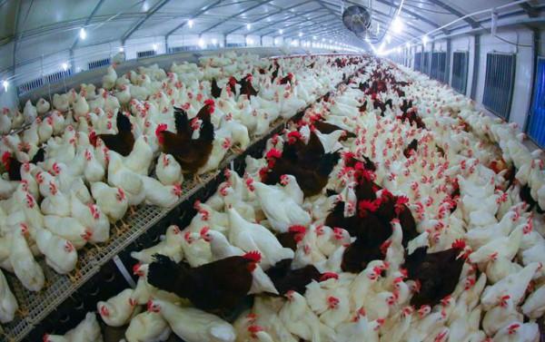 محافظة عراقية تعلن إكتفاءً ذاتياً من المنتجات الحيوانية