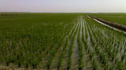 """في خانقين .. ازدهار زراعة محصول """"ممنوع"""" رسميا"""