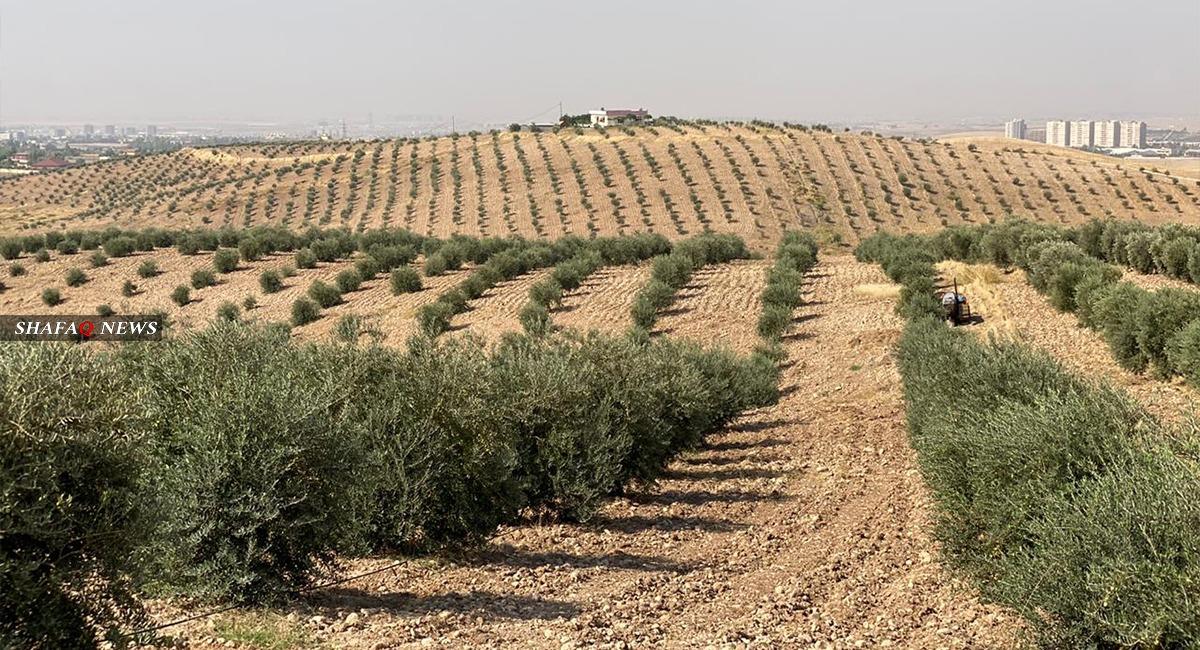 صور .. كوردستان تقطف ثمار الزيتون وعينها على صدارة توريد زيته بالمنطقة