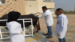 المستشفى البيطري في ديالى يشن حملة لمحاربة 3 أمراض فتاكة