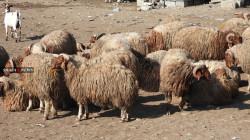 خطر خارجي يهدد الثروة الحيوانية في إقليم كوردستان.. صور