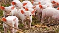 علماء يصنعون مكملات غذائية ضرورية لجسم الإنسان من دم الخنزير