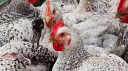 العراق يمنع استيراد مقطعات الدجاج اللاحم اعتباراً من الغد