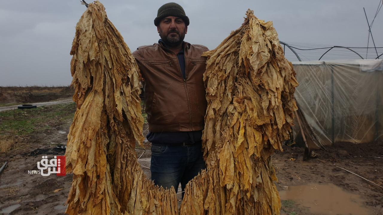"""بعد عقود من الغياب.. زراعة التبغ تعود إلى """"ديريك"""" موطنها الأم"""