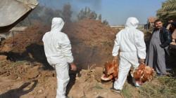 بعد إعدام 120 ألف دجاجة.. احتواء انفلونزا الطيور في صلاح الدين