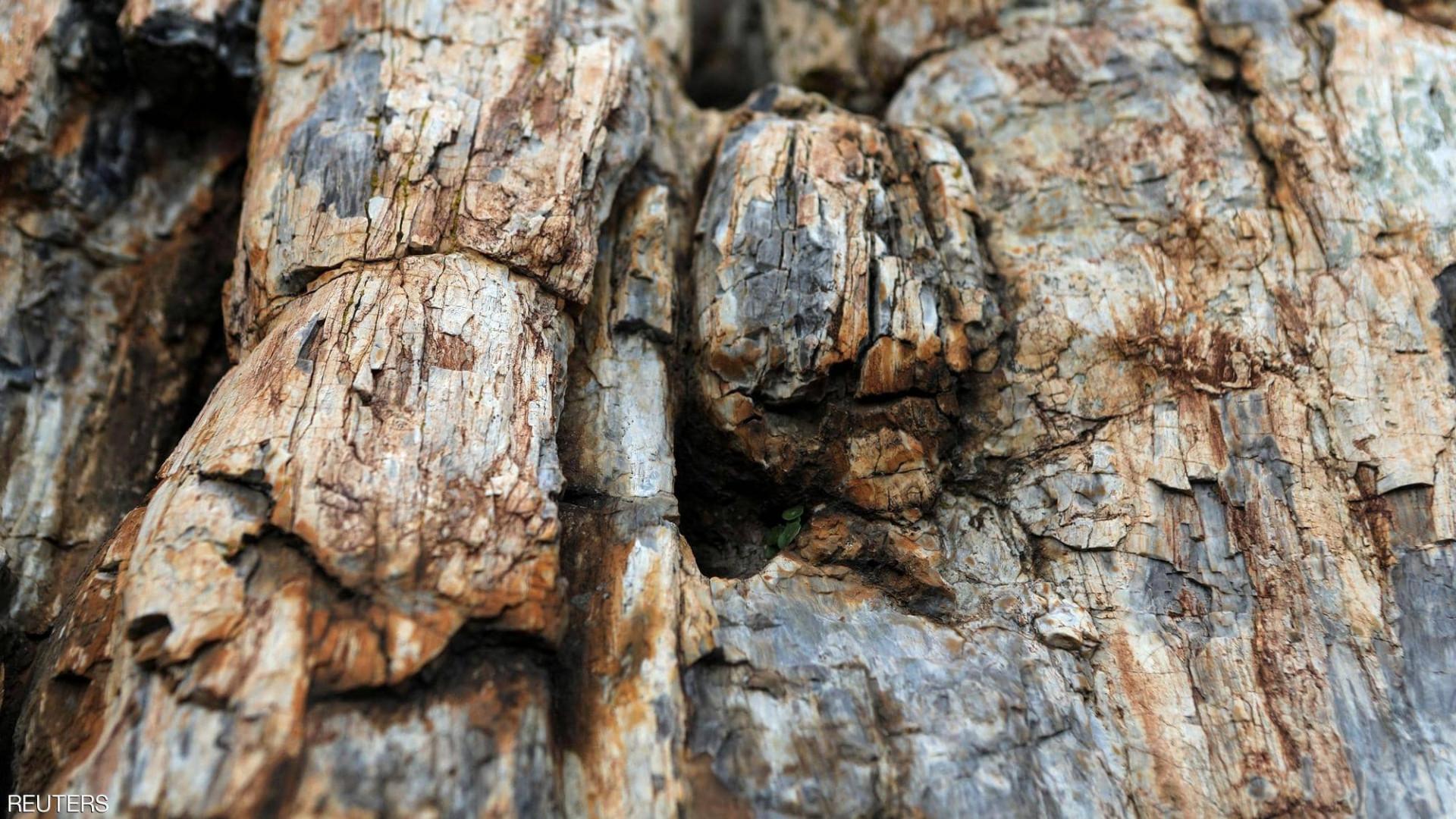 اكتشاف نادر ومذهل.. شجرة عمرها 20 مليون عام (صور)