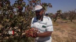 داعش يعطل مزارع الفستق في الانبار: إنتاج شجرة واحدة يعادل قيمة ثلاثة براميل نفط