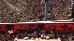 تجربة جديدة.. الإدارة الذاتية تختبر زراعة البطاطا في ديرك
