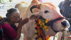 """بعد موجة سخرية.. الحكومة الهندية تلغي اختباراً عن """"القدرات العجيبة"""" للأبقار"""