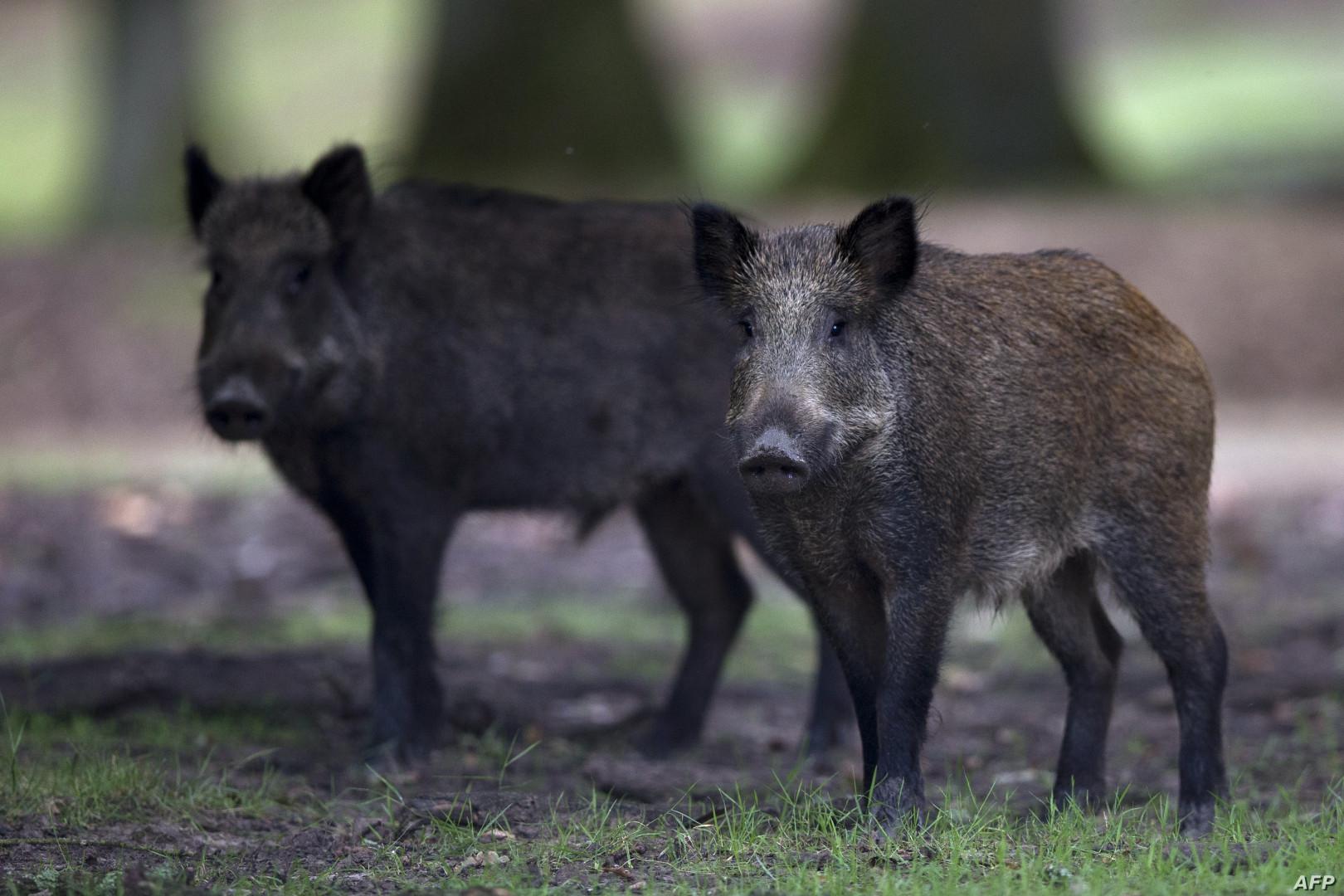 """تفشي حمى """"الخنازير الأفريقية"""" في الصين"""
