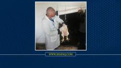 إعدام آلاف الدجاج لاحتواء بؤرتين لانفلونزا الطيور في ديالى