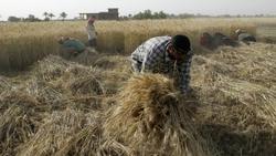 العراق يخصص مزيداً من الأرض لزراعة القمح