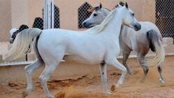 العراق يستورد خيولا عربية اصيلة من مصر
