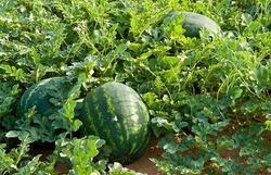 زراعة السليمانية تتحدث عن تلوث محصول الرقي بالمواد الكيمياوية