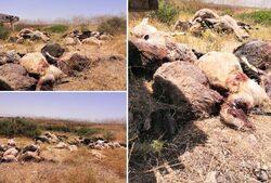 نفوق أكثر من 100 رأس غنم بمنطقة في اقليم كوردستان