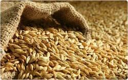 الزراعة تكشف تفاصيل شحنة تصدير غير مسبوقة من الشعير