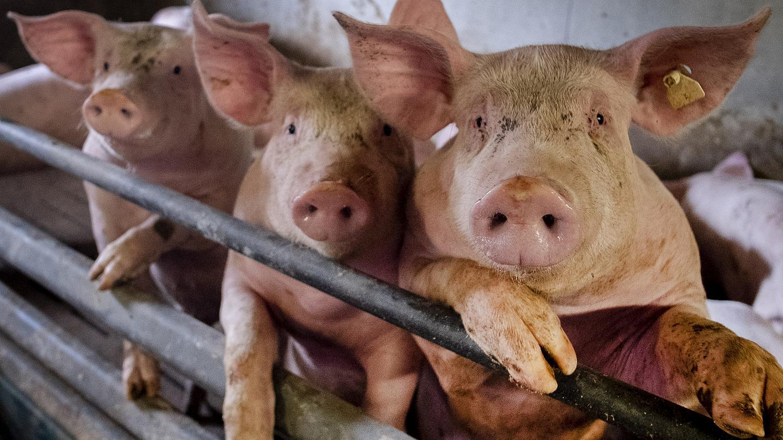 ظهور فيروس جديد من مسلخ للخنازير في الصين