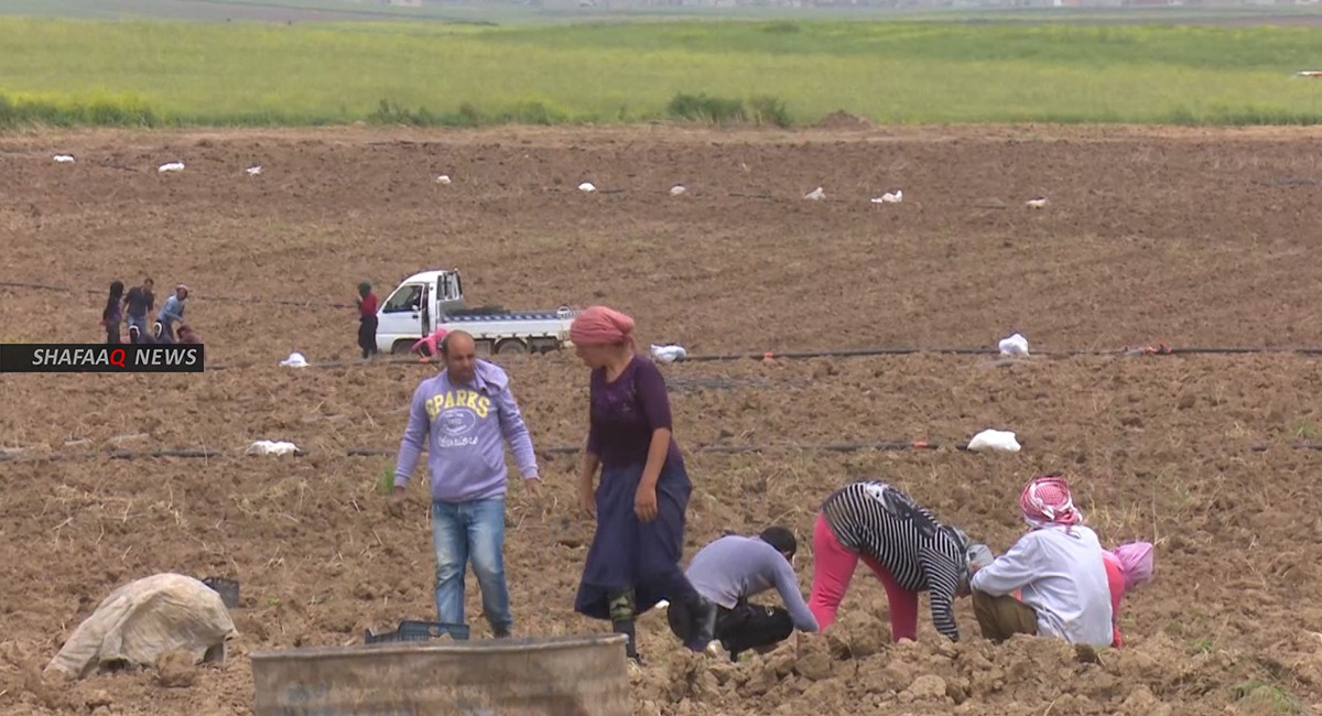 الزراعة الكوردستانية تعلن إبرام عقود لتسويق منتج البطاطا المحلي